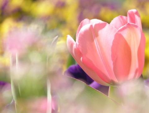 tulip03b.jpg