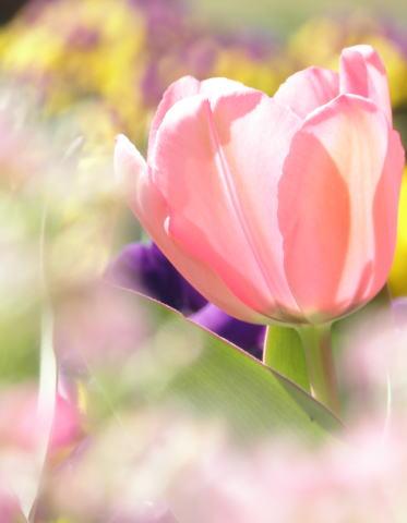 tulip04b.jpg